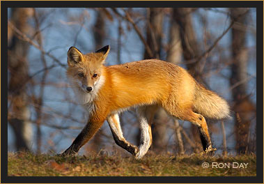 Red Fox Trotting