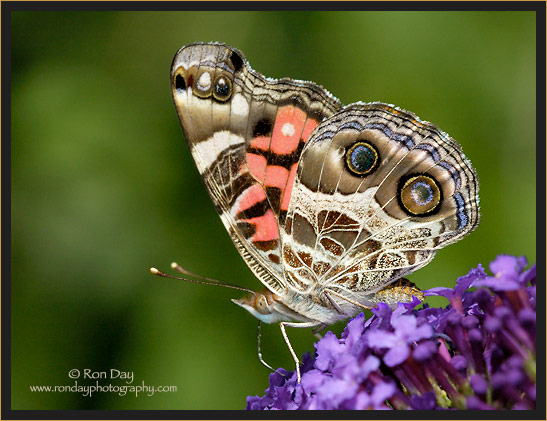 American Painted Lady Butterfly (Vanessa virginiensis)