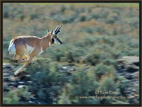 Pronghorn Antelope Running - Lamar Valley - Yellowstone NP
