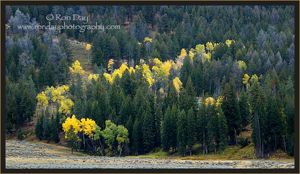 Yellow Aspen Trees in the Fall at Yellowstone