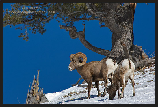 Pair of Bighorn Sheep in the Snow