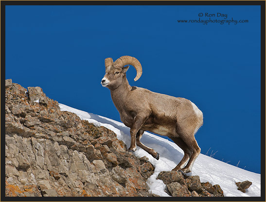 Bighorn Ram on Snowy Incline at Yellowstone