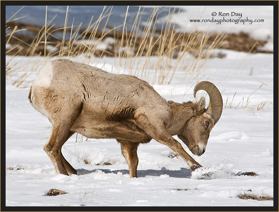 Bighorn Sheep, (Ovis canadensis), Winter in Yellowstone