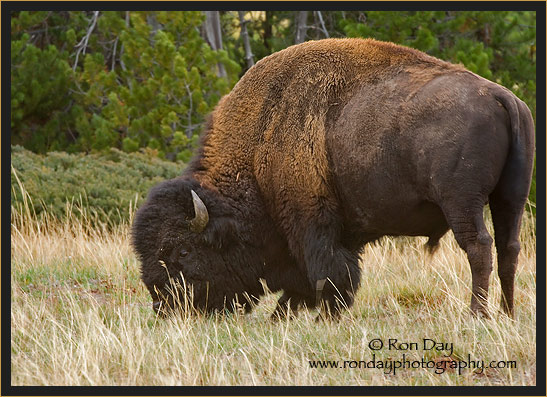 American Bison (Bos bison), Yellowstone