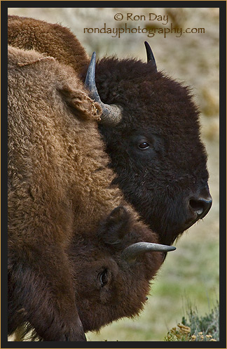 American Bison Pair (Bos bison), Yellowstone