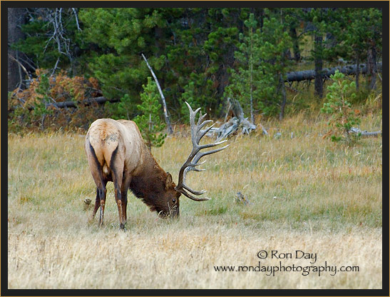 Bull Elk (Cervus elaphus), Grazing in Yellowstone