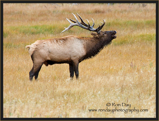 Bull Elk Bugling (Cervus elaphus), near Madison River