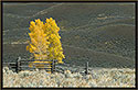 Autumn Cottonwood, Yellowstone