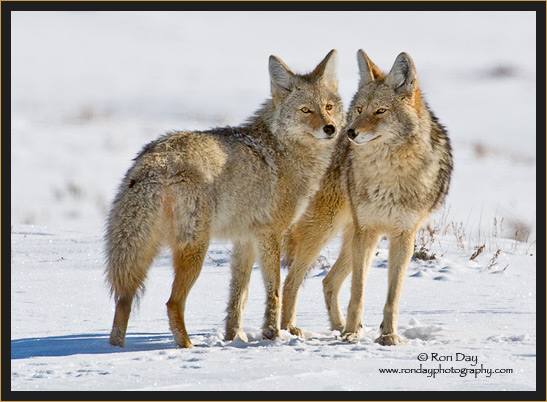 Coyote Couple (Canis latrans), Yellowstone in Winter