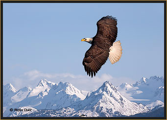 Bald Eagle Flying Over Kenai Peninsula, Alaska