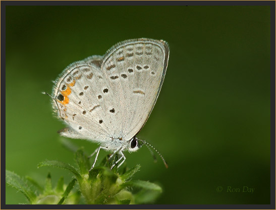 Tiny Gray Butterfly with Orange Marks on Trailing Edge of Hind Wing