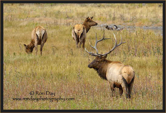Elk (Cervus elaphus), Yellowstone