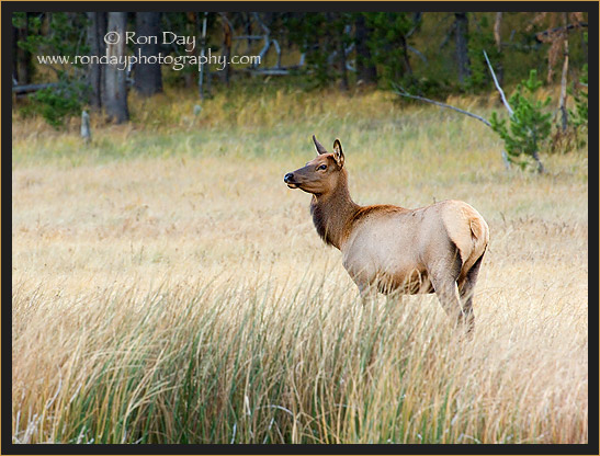 Elk Cow (Cervus elaphus), Yellowstone