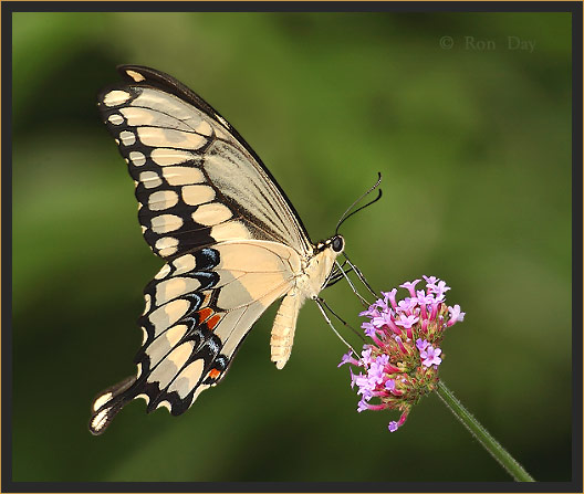 Giant Swallowtail Butterfly (Heraclides cresphontes)