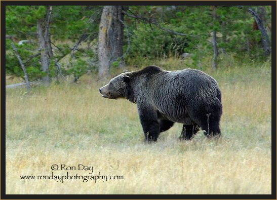 Grizzly Bear (Ursus arctos), Yellowstone