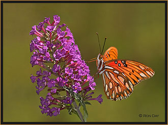 Gulf Fritillary Butterfly on Butterfly Bush