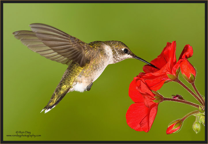 Ruby-throated Hummingbird Juvenile, (Archilochus colubris)
