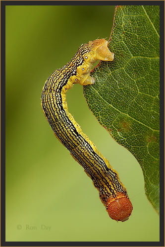 Linden Looper Caterpillar