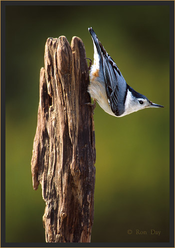 White-breasted Nuthatch, (Sitta carolinensis)