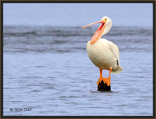 White Pelican On Stump With Bill Open