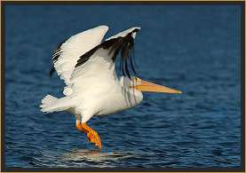 White Pelican in flight over Lake
