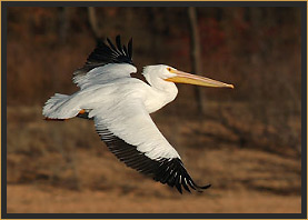 White Pelican in Flight at Lake Tenkiller