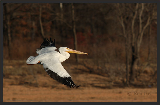 White Pelican Flying at Lake Tenkiller