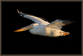White Pelican in Flight, Lake Tenkiller