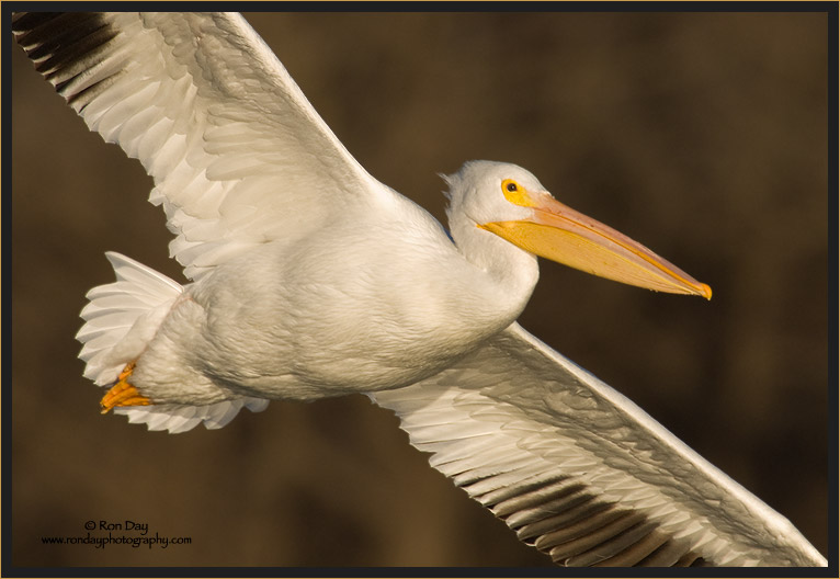 Close-up of White Pelican in Flight