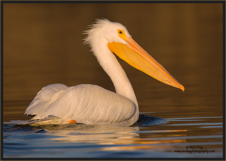 White Pelican Paddling at Sunset