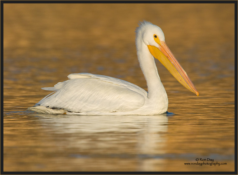 White Pelican in Golden Sunset
