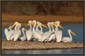 White Pelicans on Peninsula