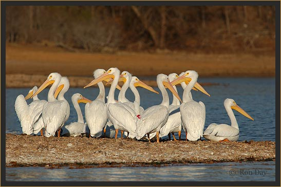 American White Pelicans at Lake Tenkiller