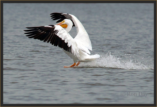White Pelican Landing on Lake Tenkiller