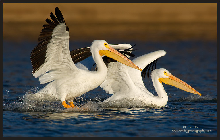 Pelican Pair Landing on Lake at Sunset