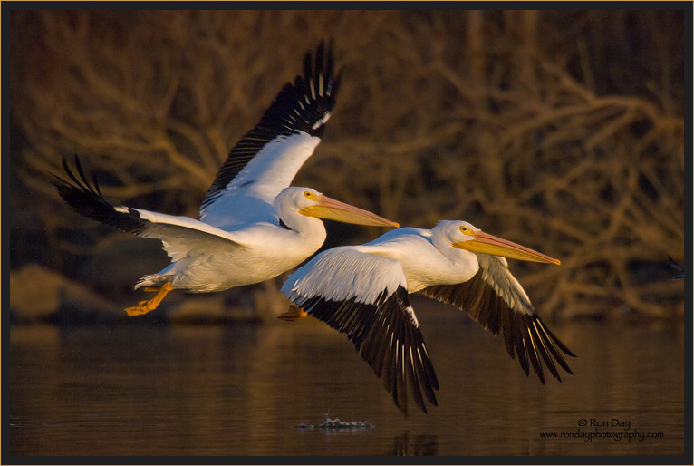 Pelicans Flying Over Water Into Sunset