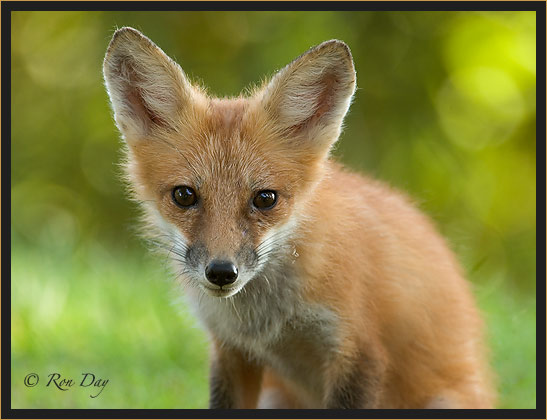 Young Red Fox Portrait, (Vulpes vulpes)