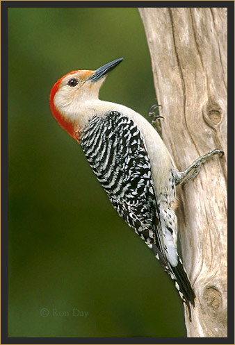 Red-bellied Woodpecker (Centurus carolinus), Male