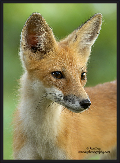 Young Red Fox by Ron Day
