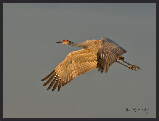 Sandhill Crane, Evening Light, Bosque del Apache