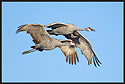 Pair of Sandhill Cranes Flying