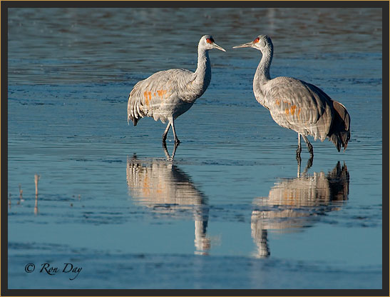 Sandhill Crane Reflection, Bosque del Apache