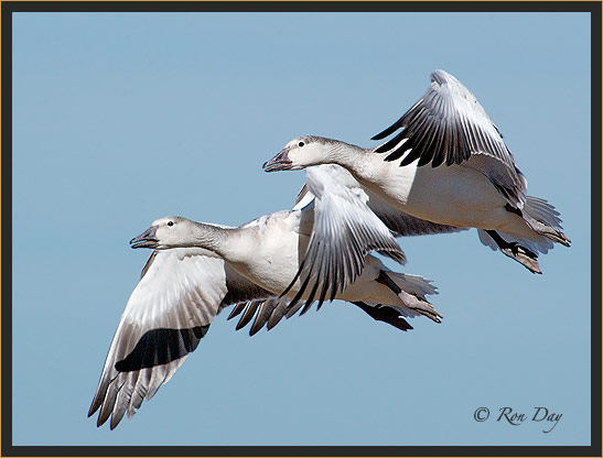 Snow Geese, Blue Phase, Bosque del Apache