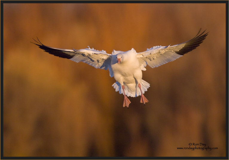 Snow Goose on  Final Approach, Bosque del Apache