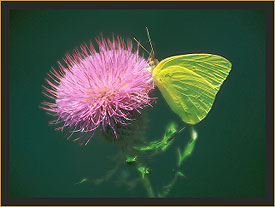 Sulphur Butterfly on Thistle