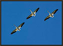 White Pelicans Three Thumbnail