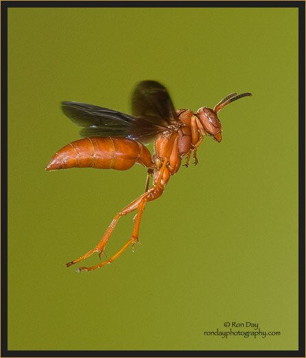 Red Paper Wasp in Flight
