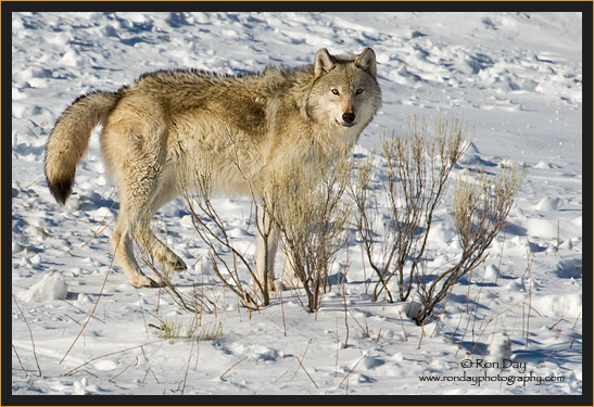 Gray Wolf (Canis lupus), Yellowstone in Winter