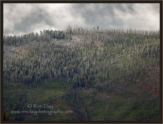Frost Covered Trees on Yellowstone Slope
