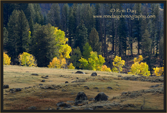 Autumn Foliage, Yellowstone NP